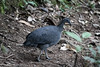 Gray Tinamou by vagabond05