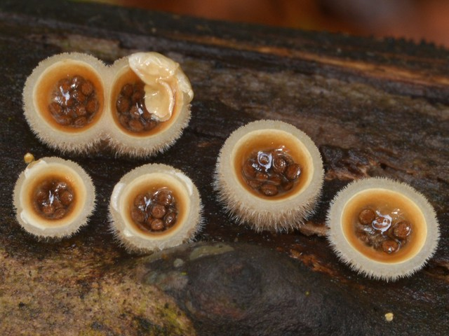 Cute little Bird's Nest Fungi (Nidulariaceae) - with tiny