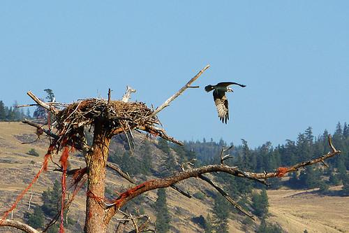 Osprey and Nest near Merritt, Nicola Valley, Thompson Okanagan, British Columbia
