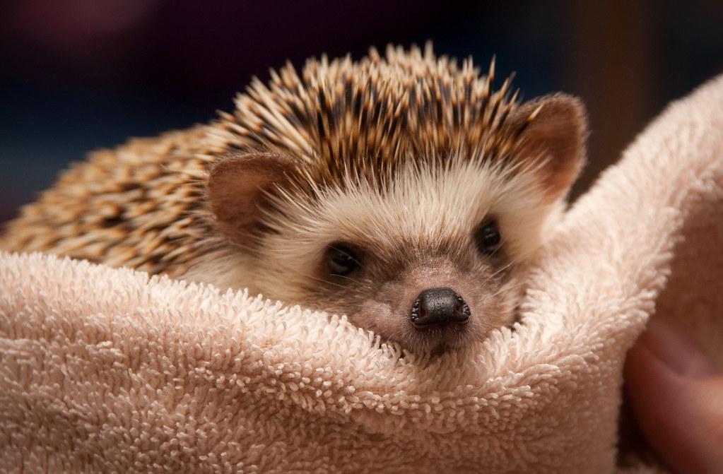 Petunia the Hedgehog