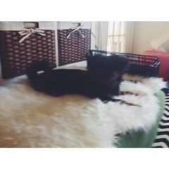 Bear fell in love with our faux sheepskin rug!!! #BearTheDog #IKEA #sheepskin #Denver #Colorado