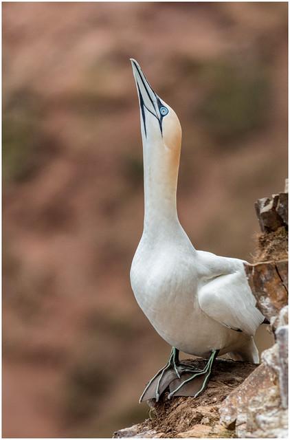Gannet, Troup Head