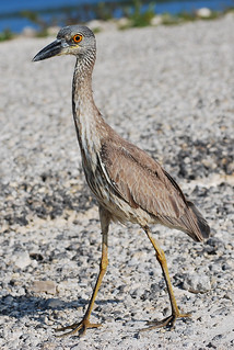 Yellow-crowned Night Heron | by RuudVisser