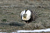 Inflated Air Sacs, Greater Sage Grouse by brad.schram