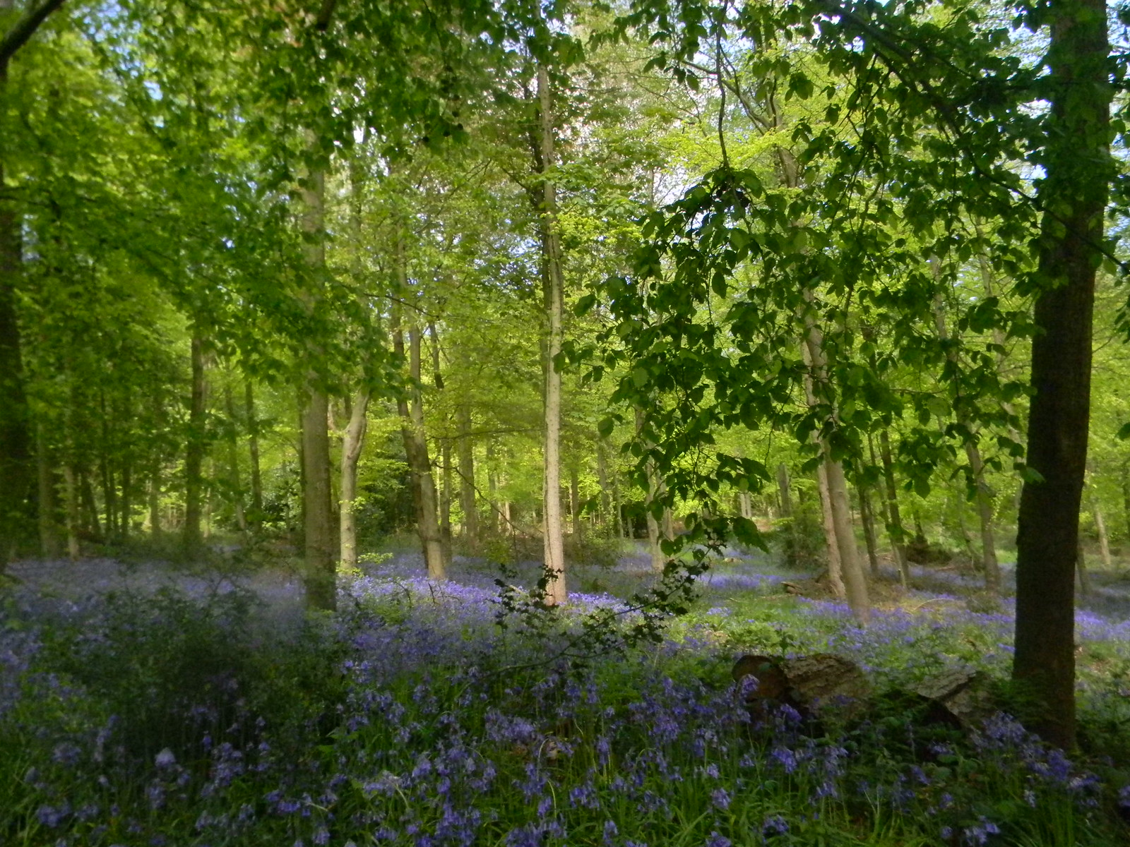 Bluebells In later wood Wendover Circular