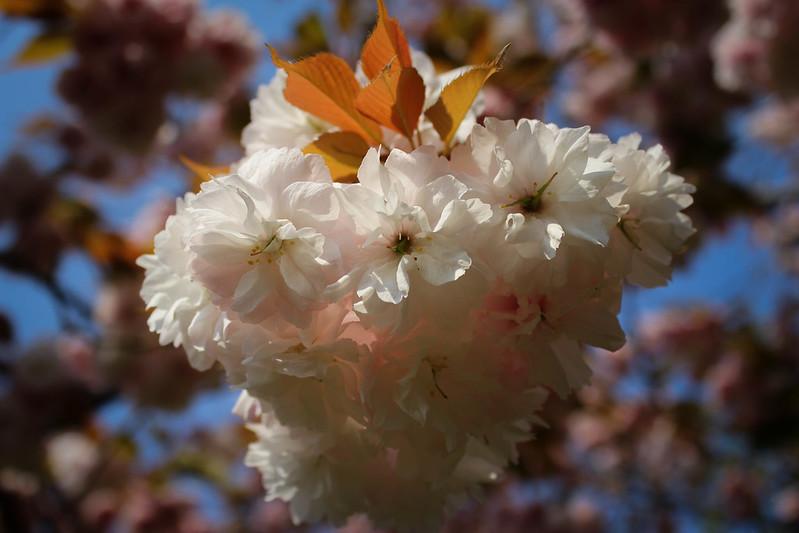 ひたち海浜公園の桜