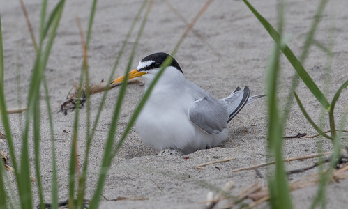 Least Tern nest