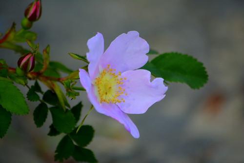 WILD ROSE, TULAMEEN,  BC.