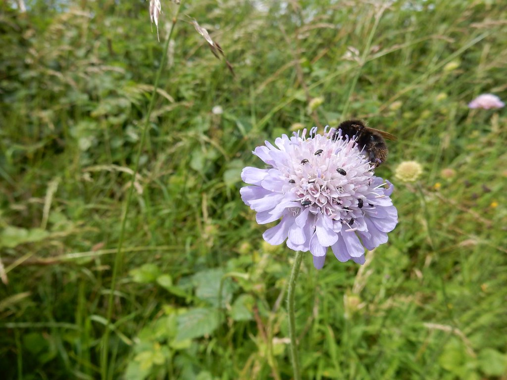 Bugs on scabious Hitchin Circular