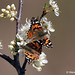 Spring Blossoms - Two Painted Lady butterflies nectar on wild plum flowers.