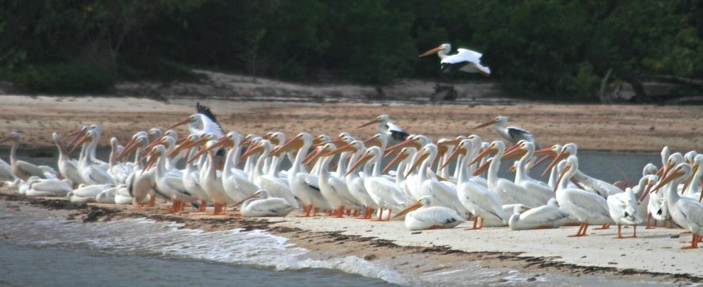 Pelicans 734