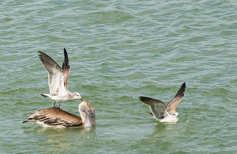 Seagull attacking Pelican