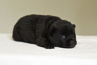 Nami-Litter1-Day10-Puppy5-Male-4 | by brada1878