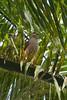Ridgway's Hawk (Buteo ridgwayi), Los Haitises National Park by palmchat