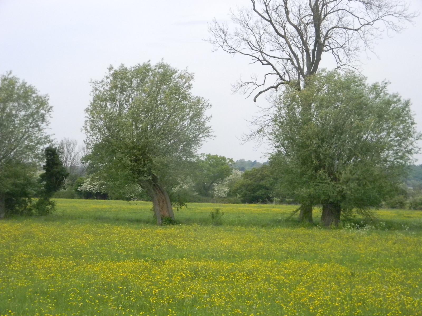 Buttercups, willow, watermeadow Manningtree Circular