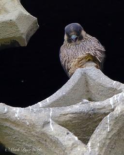 Peregrine Juvenile (Falco peregrinus)