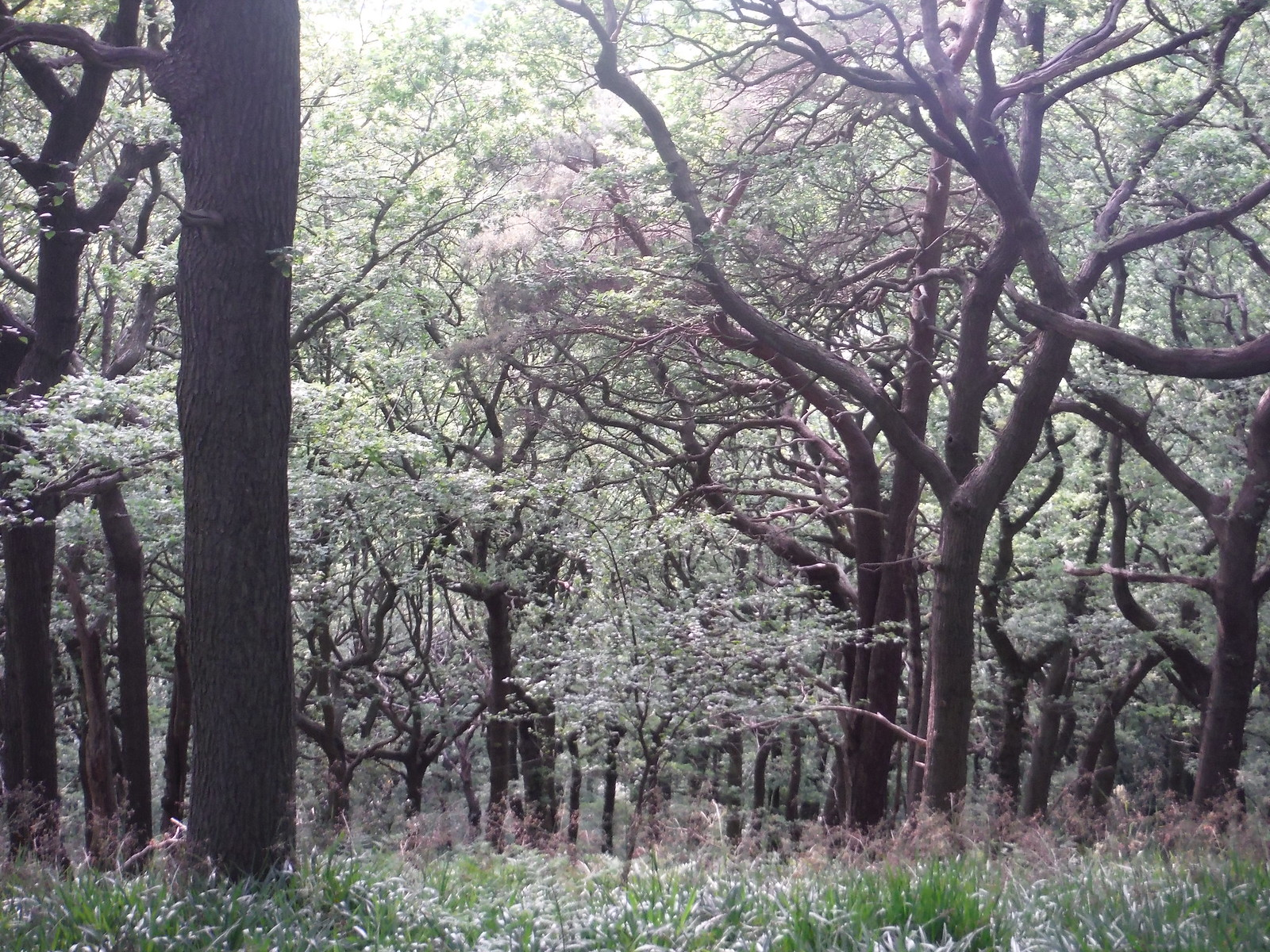 Ancient Oak Wood, Ladies' Spring Wood SWC Walk 267 - Sheffield Circular (via Porter, Limb, Sheaf and Gleadless Valleys)