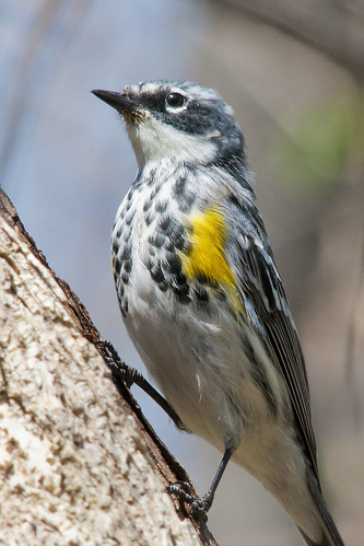 PC0116 Yellow-rumped Warbler | by mccormacka