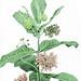 summer milkweed 2013