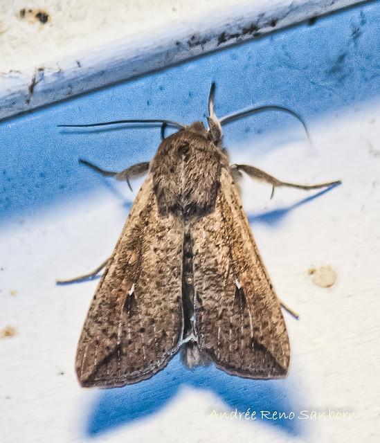 Armyworm - Hodges#10438 (Mythimna unipuncta)