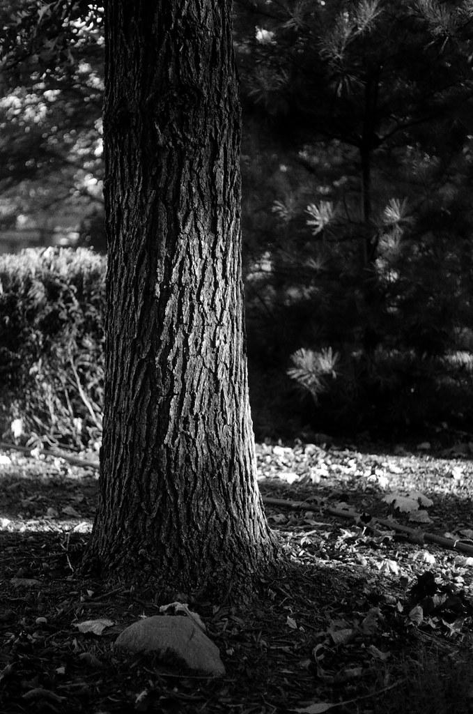 Oak trunk 1