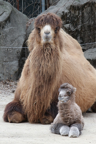 Baby Bactrian Camel 3-1-14 (21 of 22)   by Mark Dumont
