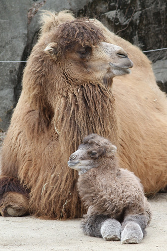 Baby Bactrian Camel 3-1-14 (22 of 22) | by Mark Dumont