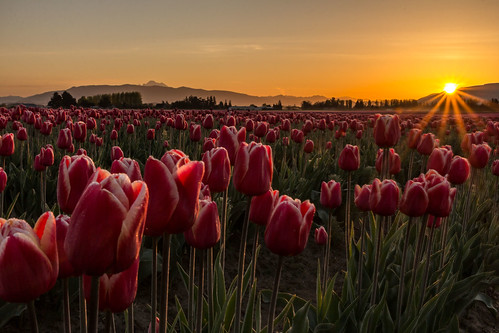 flowers sunrise washington day unitedstates tulips clear mountvernon skagitvalley 2014 pwspring