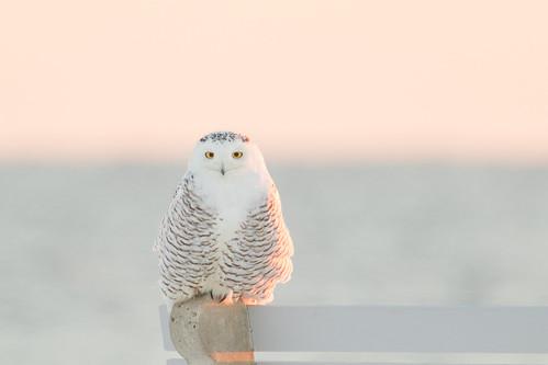 ocean winter snow cold nature water birds sunrise unitedstates bokeh wildlife newhampshire rye owl snowyowl