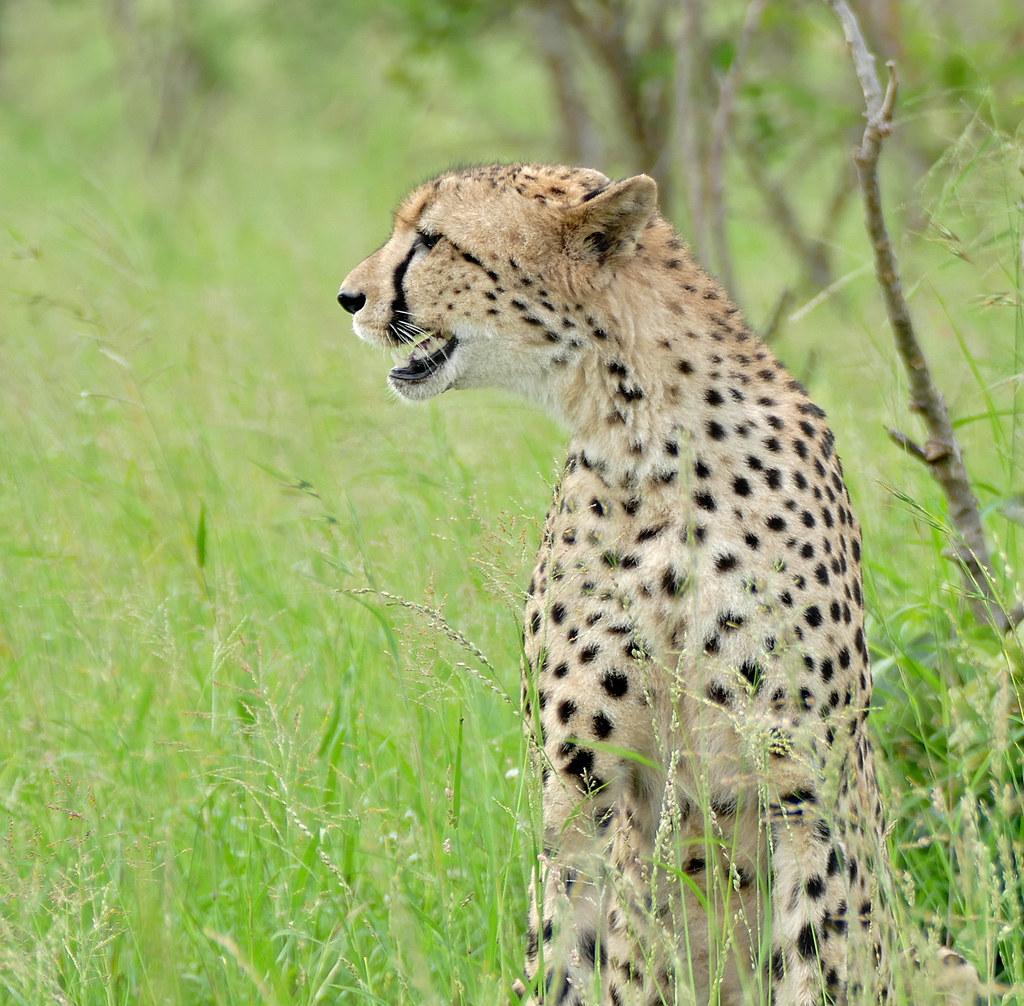 Cheetah (Acinonyx jubatus) | S128 Road North of Lower ...
