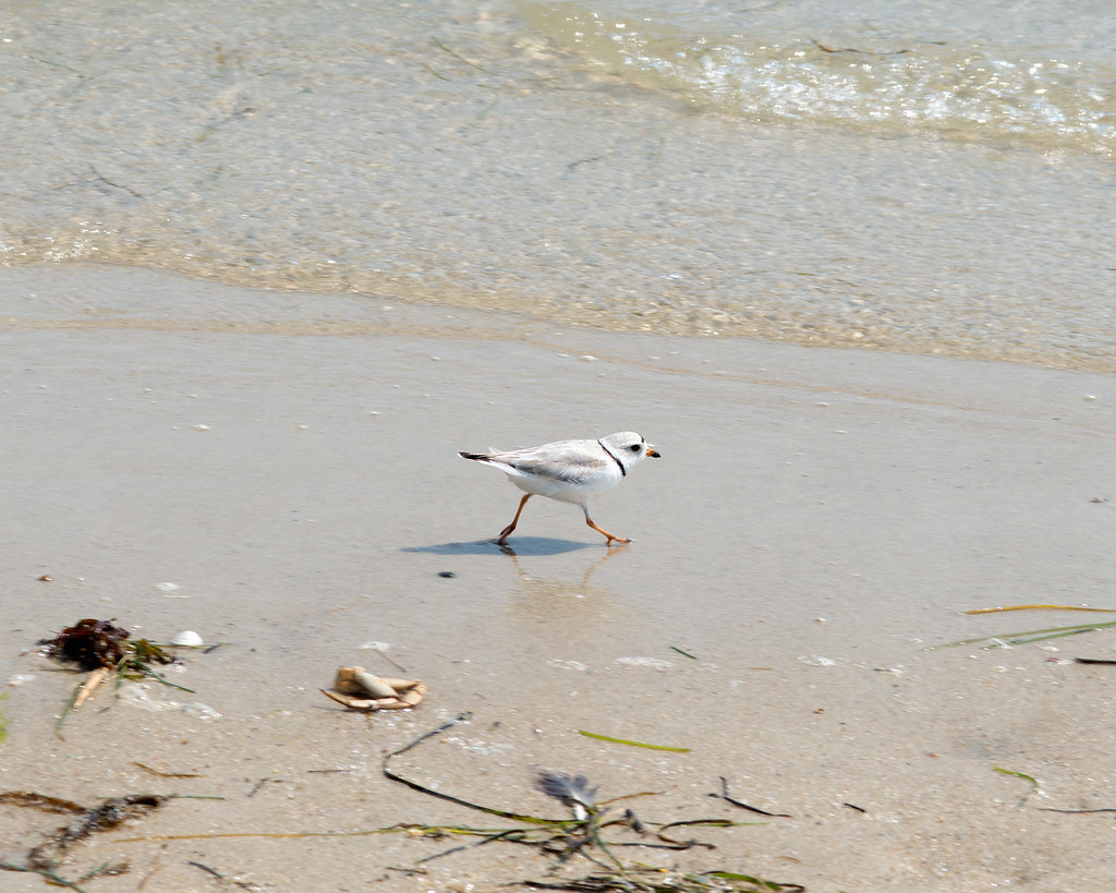 Charadrius melodus (Piping Plover)