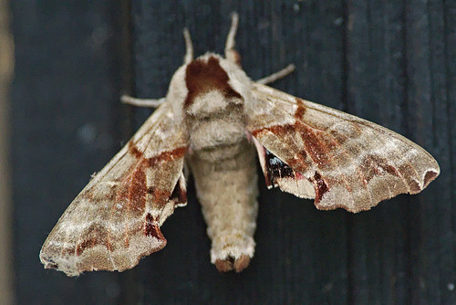 Twin-spotted Sphinx Moth - Smerinthus jamaicensis