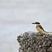 Kingfisher - Heathcote Salt Marshes