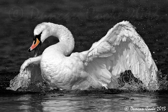 DS0D6191-Mute-Swan-1