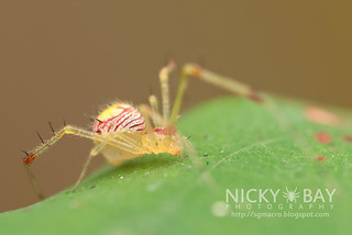 Comb-Footed Spider (cf. Meotipa sp.) - DSC_9279