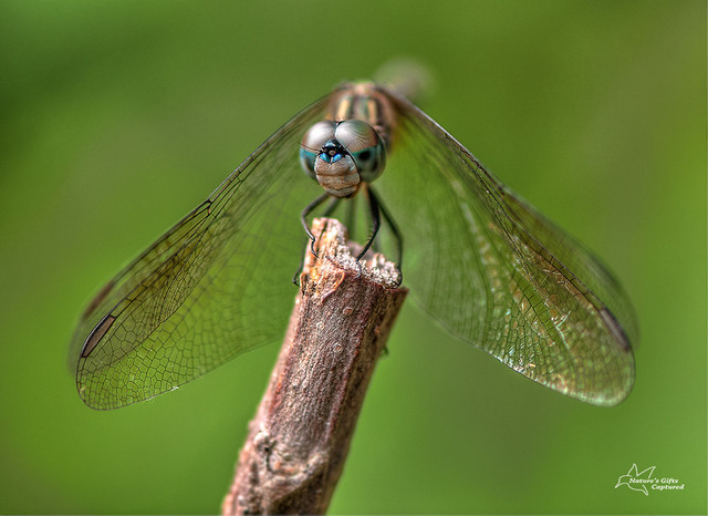 Dragonfly Front View
