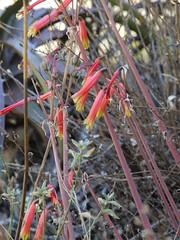 日, 2013-08-18 12:02 - Pinkuylluna登山道に咲いていた花