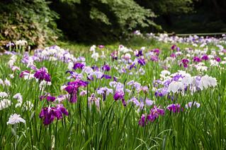 Meiji Jingu Naien Iris Garden
