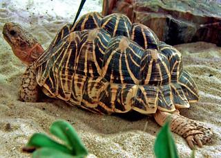 Indian Star Tortoise   by Bret Arnett