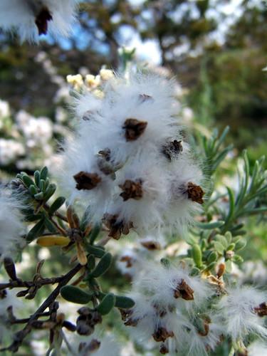 Flower @ Kirstenbosch Botanic Gardens, South Africa | by timparkinson