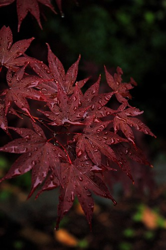 Japanese Maple | by sofafort