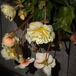 Last Begonias