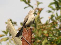 """Northern Mockingbird"" Mimidae Mimus polyglottos"