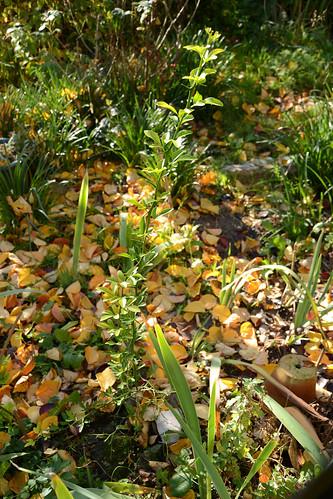 Citrus trifoliata (= Poncirus trifoliata) - Page 2 32192504926_636c861f8d