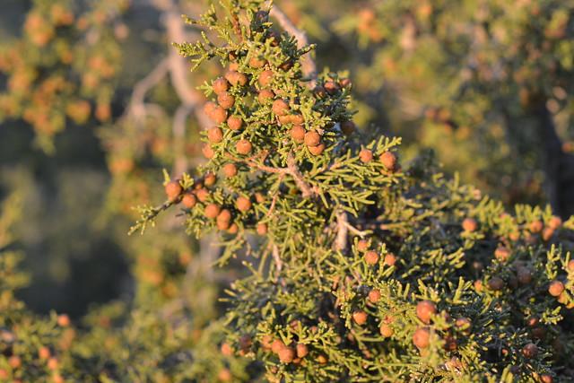 Juniperus phoenicea - genévrier de Phénicie 32955356460_4fc48fac2e_z
