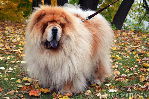 Chow Chow in the Autumn Leaves