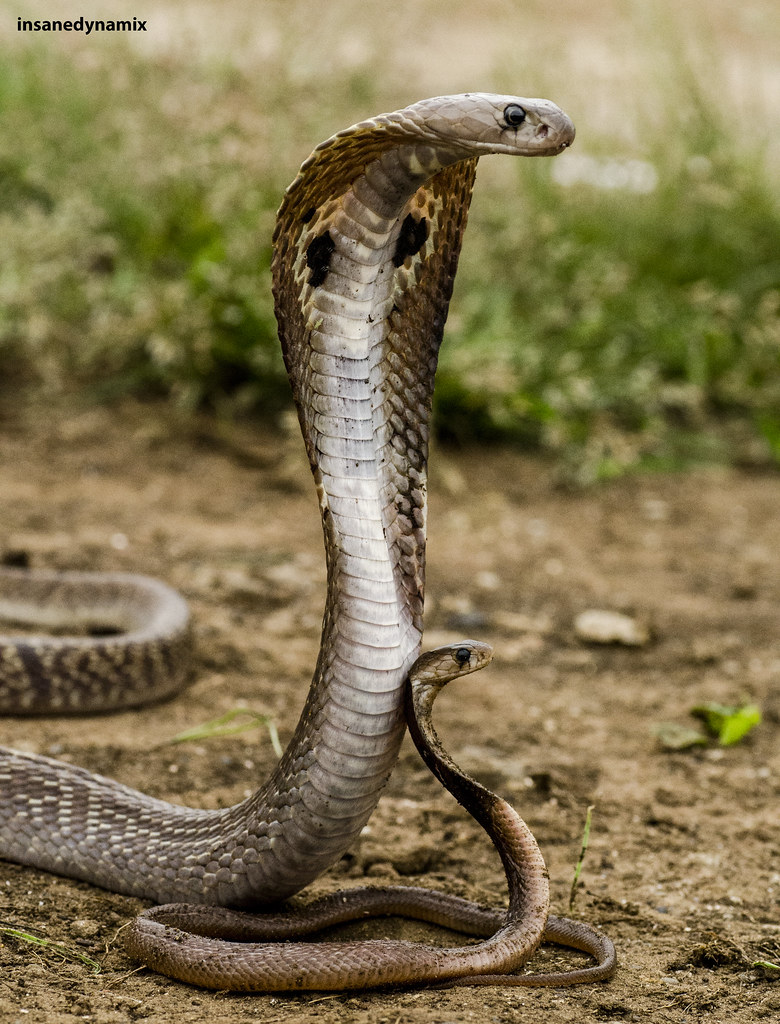 Naja anchietae - Anchietas Cobra