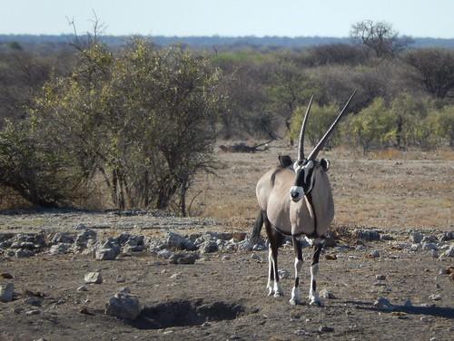 Etosha NP - gemsbok