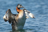 Huala (Podiceps major) by pablo_caceres_c