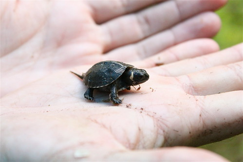 Photo of the Week - Bog Turtle (NJ) | by U. S. Fish and Wildlife Service - Northeast Region
